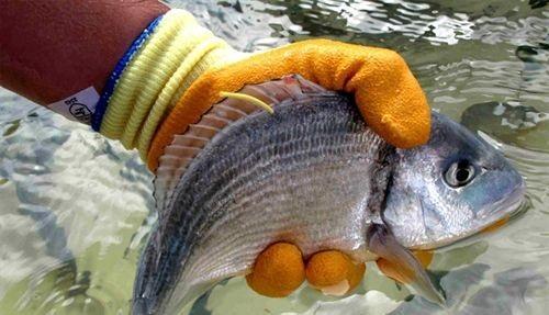 M�s de 300 cient�ficos internacionales estudian en Mallorca las 'huellas digitales' de los peces