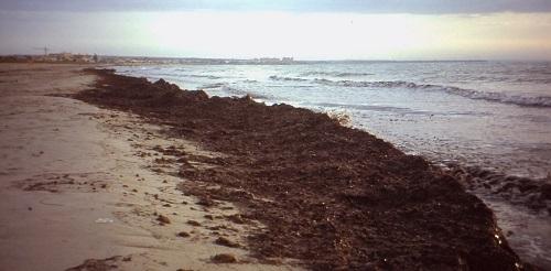 Una cantidad considerable de posidonia cubre la playa de Sa Ràpita