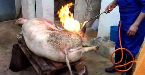 El Parlament insta a intensificar el control sanitario en animales que se destinen a consumo privado