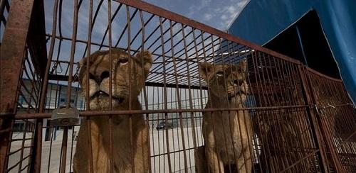 Calvi� se declara municipio libre de circos con animales