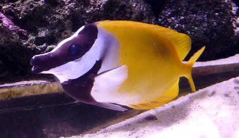 Los peces conejo amenazan el ecosistema Mediterr�neo