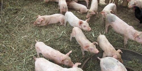 Agricultura promociona el consumo de cordero y lechona de las Balears con el apoyo de panaderos y cocineros locales