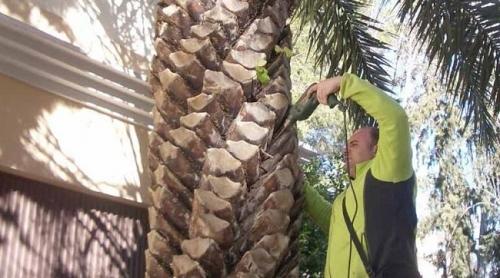 El Consell revisa 1.360 palmeras al llegar a Ibiza para evitar la entrada de más picudo rojo