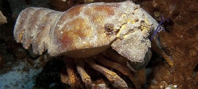 La cigarra de mar comienza a recuperarse en el Mediterráneo, tras su declive por la presión pesquera