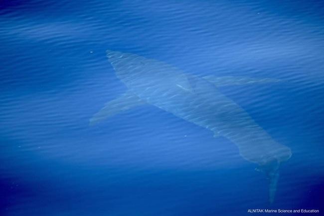 Avistan un tiburón blanco cerca de Cabrera
