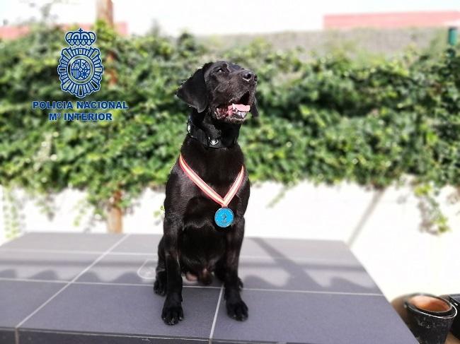 Doky, el perro detector de explosivos de la Policía Nacional que ha sido condecorado por el Ministerio del Interior