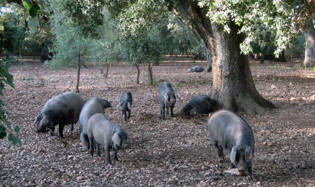 Productores de Porcino Balear piden un seguro para la recogida de animales muertos