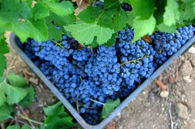 Agricultura ha gestionado, en 2020, más de 2,7 millones en ayudas al sector del vino