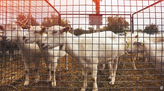 El observatorio de precios confirma la reactivación del mercado del cordero, lechona y cabrito