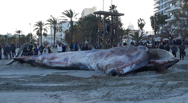 Una ballena aparece en la playa de Cala Millor