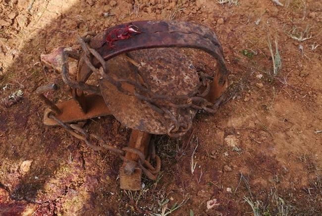 Milana mutilada por un cepo en un coto de caza de Llucmajor