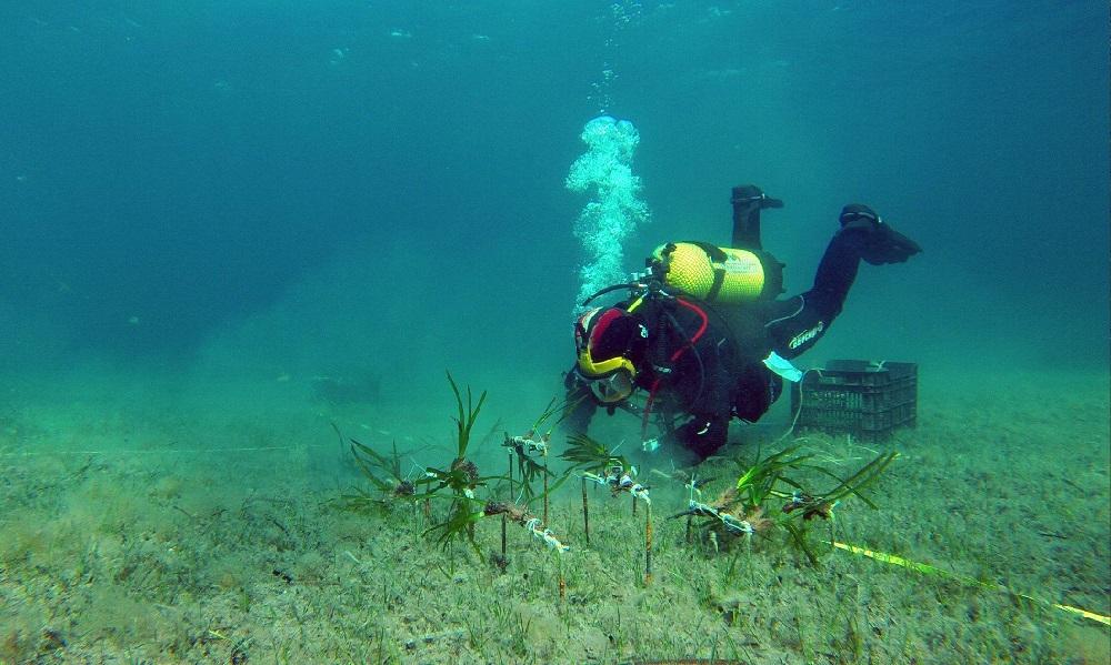 Red Eléctrica e IMEDEA plantan cerca de 8.000 fragmentos de posidonia como parte del proyecto El Bosque Marino