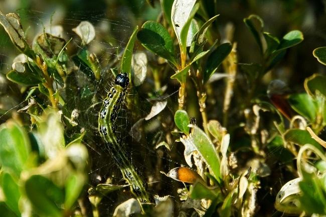 Parques y Jardines de Palma ha detectado por primera vez la oruga del boj (Cydalima perspectalis)