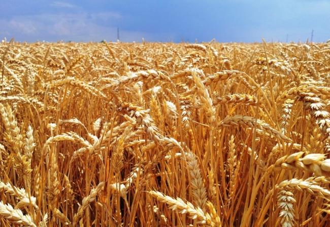 Según Agronatura puede haber pérdidas de hasta el 70% en la cosecha de cereales en Mallorca