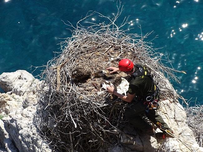 Las Islas Baleares participan activamente en la reintroducción del águila pescadora en la Comunidad Valenciana
