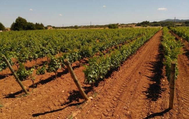 Se amplía la campaña para combatir el vector de la Xylella fastidiosa en la viña