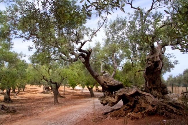 El Impuesto de Turismo Sostenible financiará un año más la replantación de árboles frutales de secano