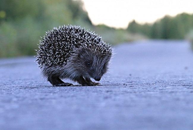 El erizo es el animal que más muertes accidentales sufre en las carreteras de Menorca