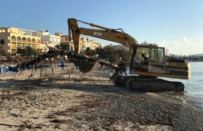 El ayuntamiento de Manacor retira dos árboles sumergidos en la playa de S'Illot