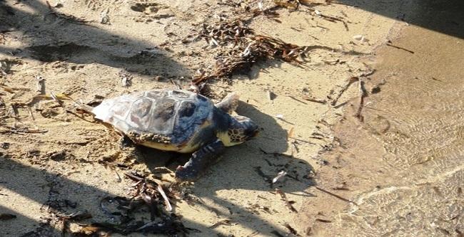 Una tortuga marina desova por primera vez en una playa de las Illes Balears
