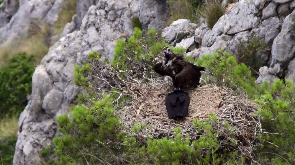 Aumentan las poblaciones de grandes rapaces en las Illes Balears