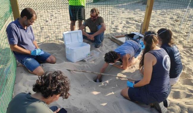 Se trasladan los huevos de tortugas marinas de Eivissa a incubadoras