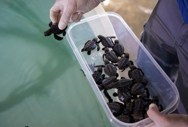 Las tortugas marinas nacidas en Eivissa se trasladan a Palma y Valencia