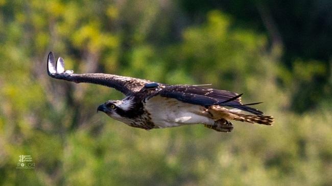 Las águilas pescadoras que las Baleares cedieron al gobierno valenciano inician el primer proceso migratorio