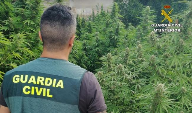 La Guardia Civil desmantela dos plantaciones de marihuana en Consell y Sineu