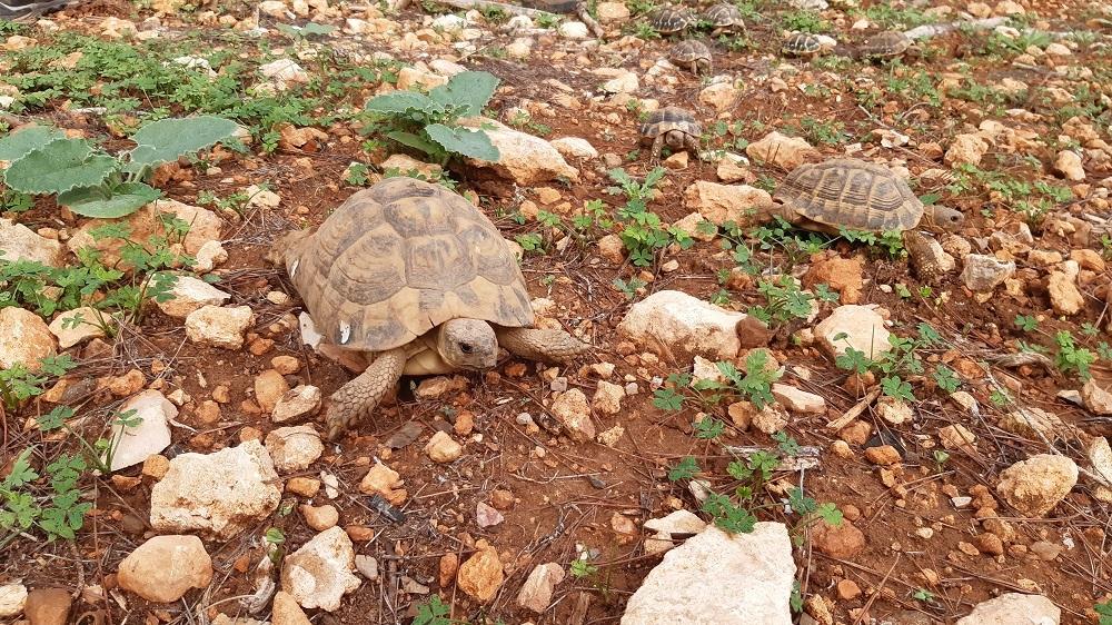 Liberados 170 ejemplares de tortuga mediterránea en la finca pública de Capocorb