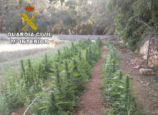 La Guardia Civil desmantela una plantanción de marihuana compuesta por 793 plantas entre Inca y Llubí