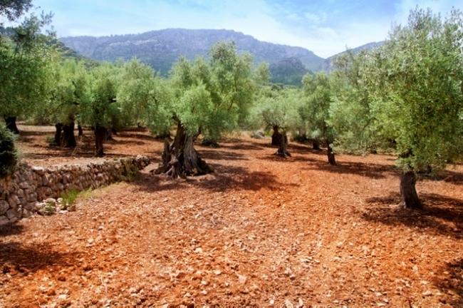 237 mil € más en ayudas de minimis para replantar árboles frutales de secano