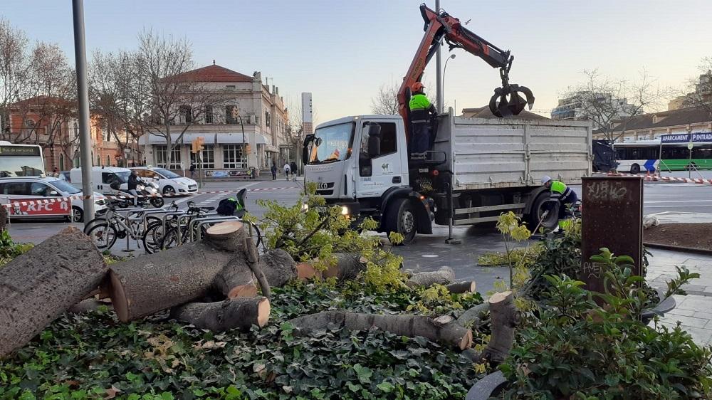 El área de Parques y Jardines ha retirado un Brachichito en la plaza de España con las raíces dañadas
