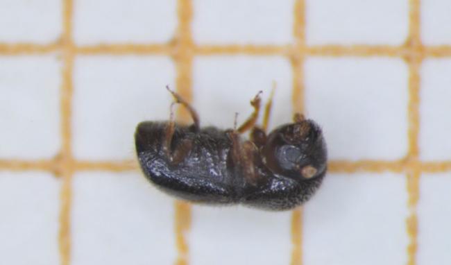 Detectada en Mallorca una especie de escarabajo invasora