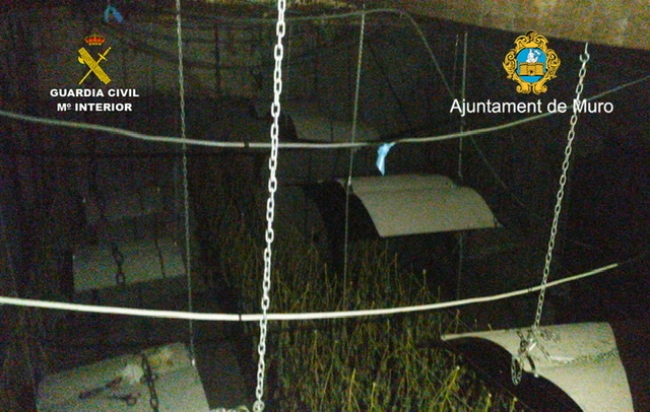 La Guardia Civil y la Policía Local de Muro desmantelan una plantación de marihuana
