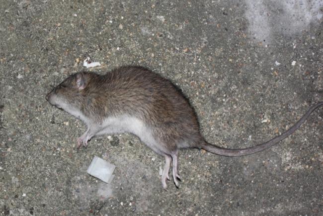 Denuncian la aparición de una plaga de ratas en pleno centro de Binissalem