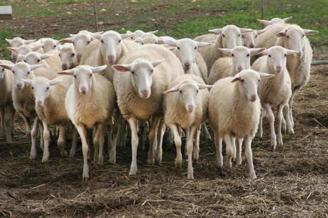 Agricultura pone en marcha las ayudas a los productores de cordero, lechona y cabrito