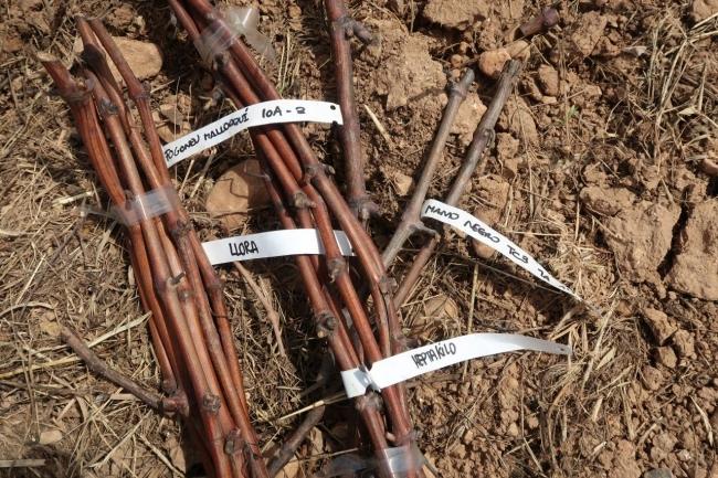 Agricultura amplía con 15 variedades autóctonas la colección de viña de la finca pública de Sa Granja