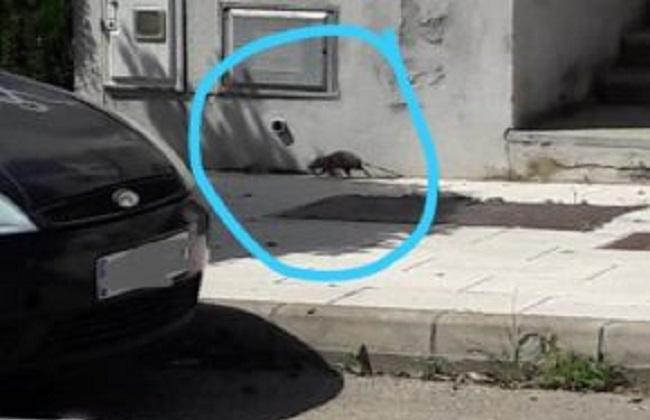 Cs Lloseta denuncia que la falta de limpieza ha aumentado la presencia de ratas en zonas verdes y calles del pueblo