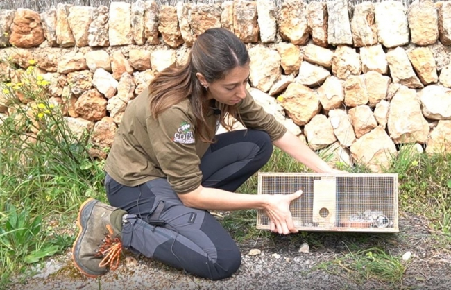 Medio ambiente incrementa en un 50% los efectivos para controlar las serpientes en Formentera