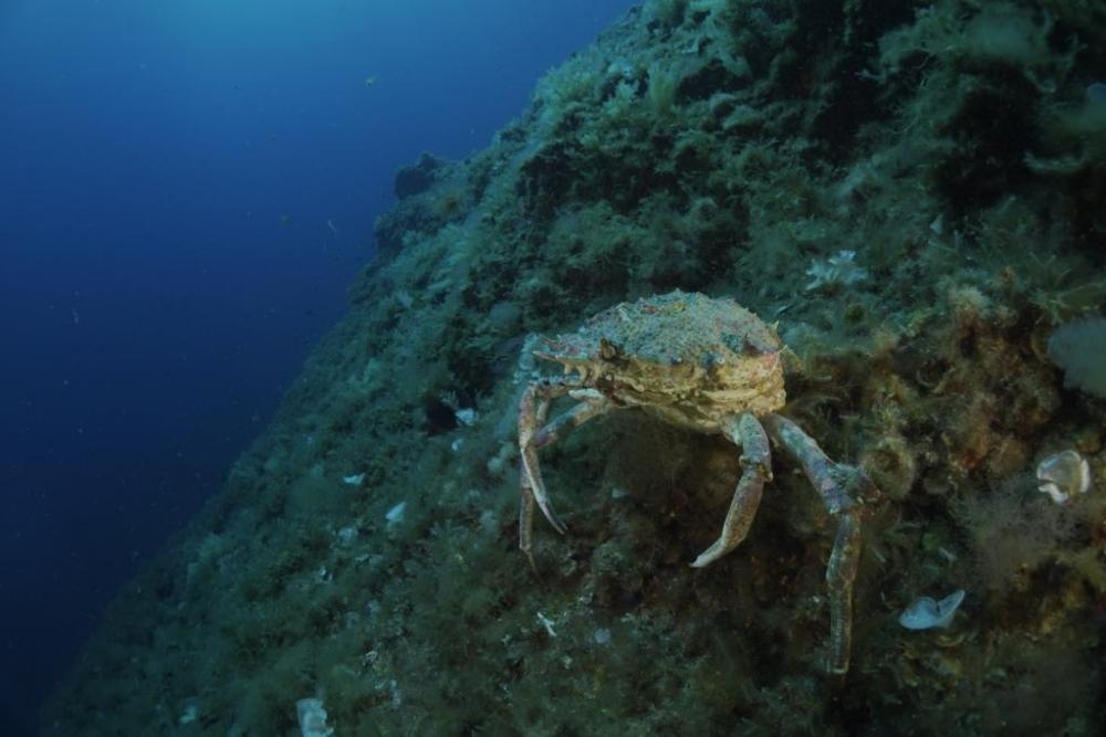 El servicio de guarda de las reservas marinas de Formentera devuelven a la mar un ejemplar de centollo capturado en la isla
