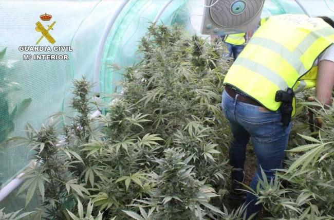 La Guardia Civil detiene a dos personas con 240 plantas de marihuana en Llubí