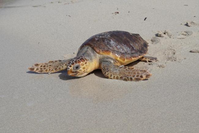 Medio Ambiente y Palma Aquarium liberan tres tortugas en el Parque Natural es Trenc