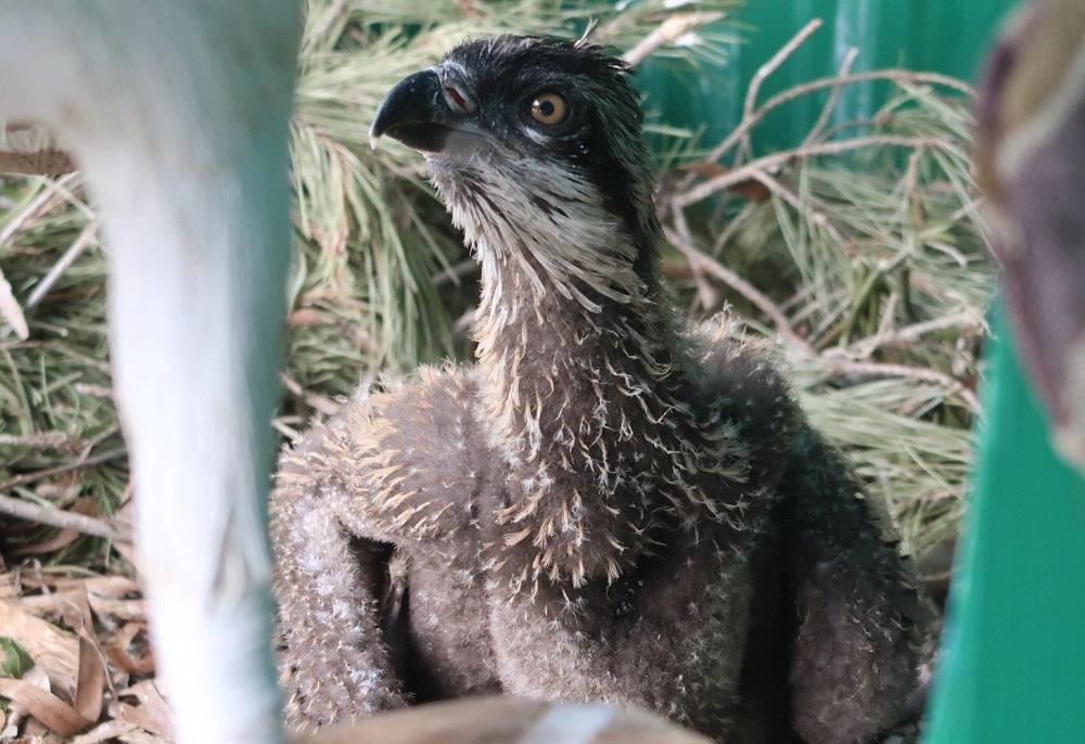 Un polluelo menorquín de águila pescadora viaja a la Comunidad Valenciana para reforzar la población