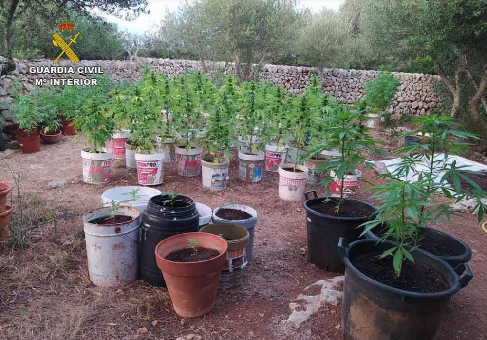 La Guardia Civil incauta 200 plantas de marihuana e interviene diversas armas en Menorca