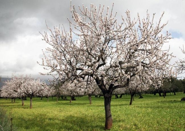 Autorizan la investigación de las variedades de algarrobo y el almendro y la adaptación al cambio climático