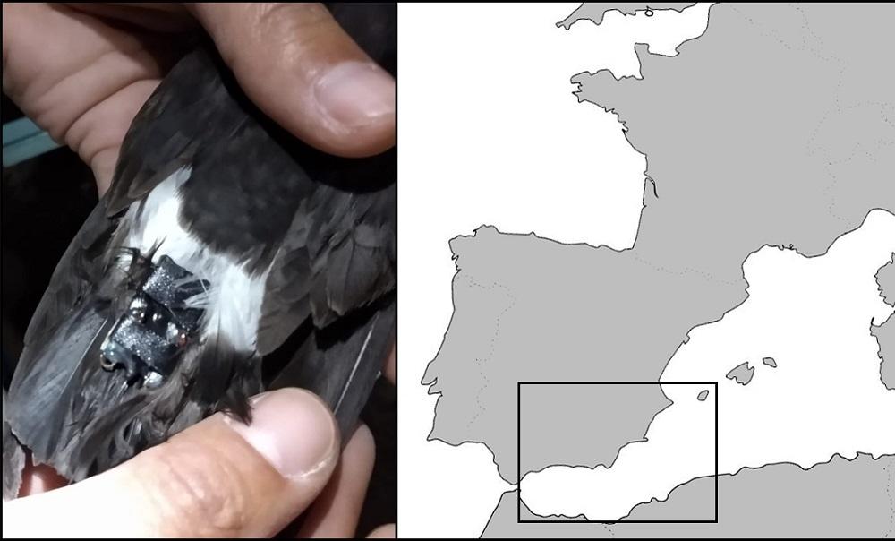 La más pequeña de las aves marinas recorre más de 1000 km en 3-4 días para ir a alimentarse