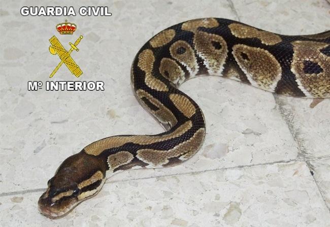 Medi Ambient y la Guardia Civil coordinan estrategias para el control de serpientes invasoras