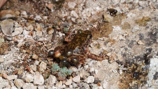 La población de 'ferreret' se mantiene estable en Baleares con 30.787 larvas