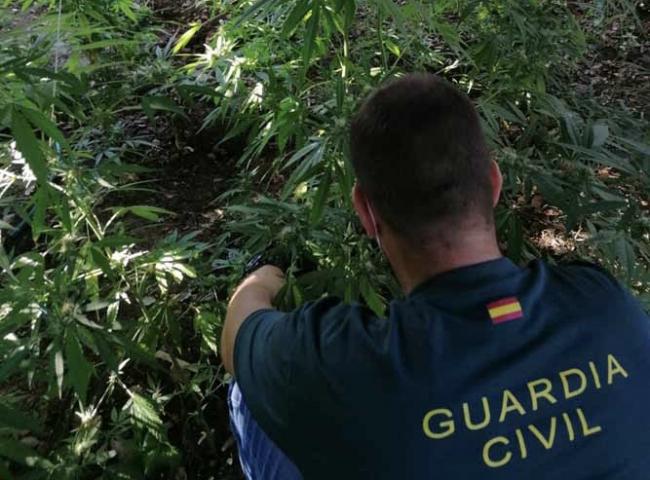 La Guardia Civil detiene a dos personas responsables de una plantación de marihuana en Sant Llorenç